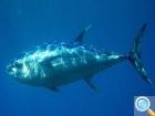 Плавание с тунцом