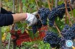 Тур: Дегустация вин и участие в сборе урожая и топтании винограда!.